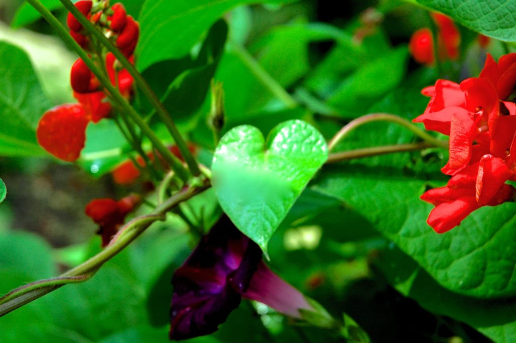 Heart shaped leaf of a scarlet runner bean